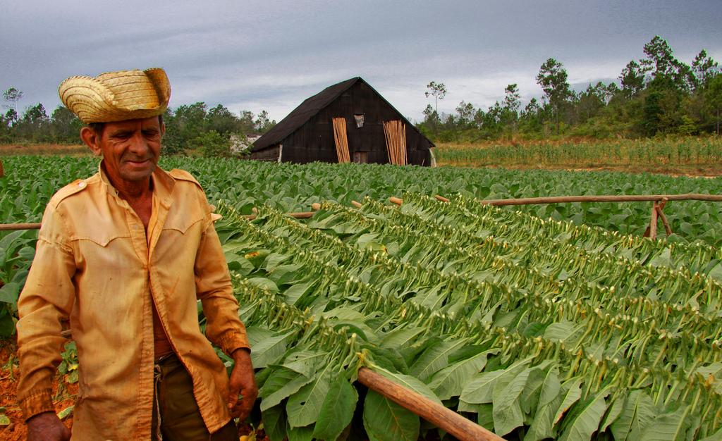 Fuertes lluvias dañan el tabaco cubano, estudiando la levadura cervecera en México y el mercado negro de la flora y fauna en Perú.