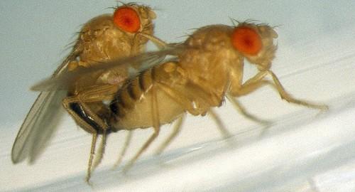 El sexo, la dieta y la mosca de la fruta