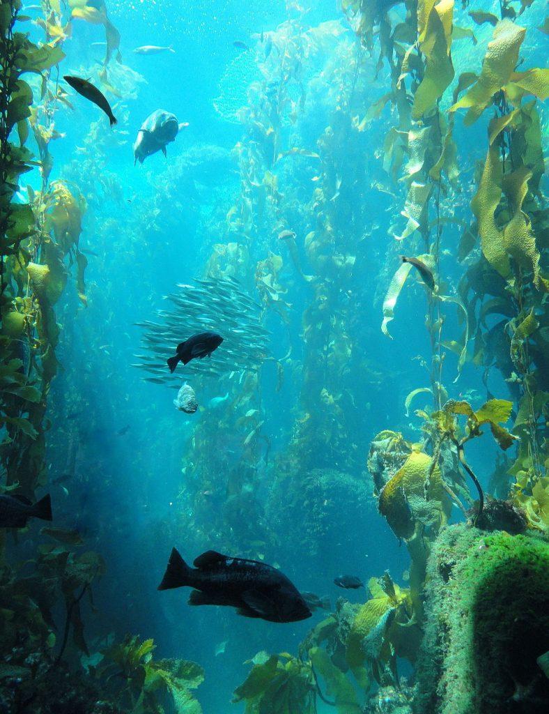 bosque_de_kelp