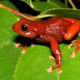 Una rana roja enfrenta probabilidades difíciles en Ecuador