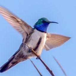Una nueva especie de colibrí en los páramos de Ecuador