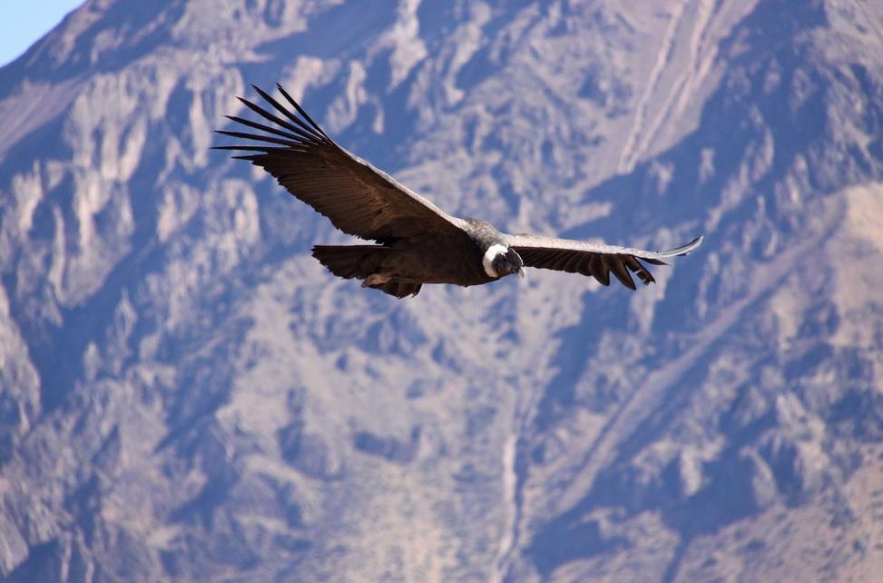 Andean Condor Census In Chile Finds 300 Birds Near Santiago Latinamericanscience Org