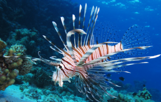 Lionfish kingdom