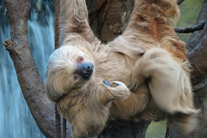 Sloth Hanging Upside Down a Sloth 39 s Upside Down Life in