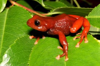 A red frog faces tough odds in Ecuador